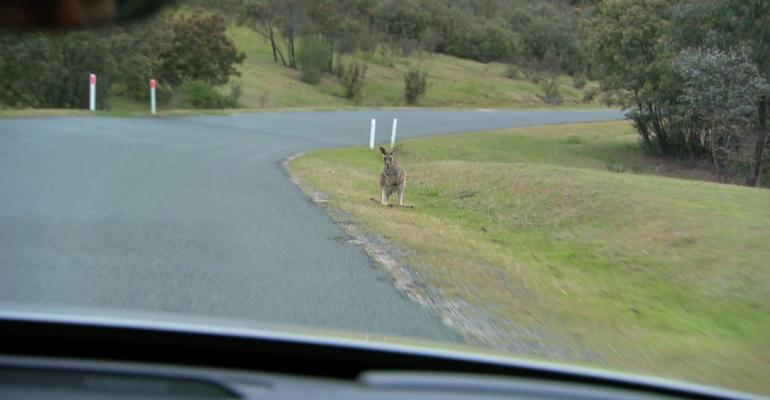 Kangaroos root cause of A75 million in accident claims annually