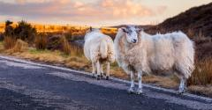 Scottish sheep to test driverless car reactions.